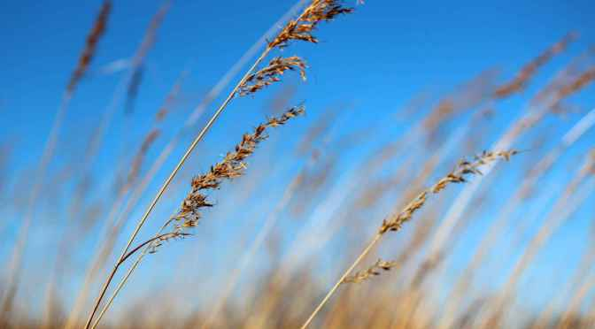 Native grasses and blue