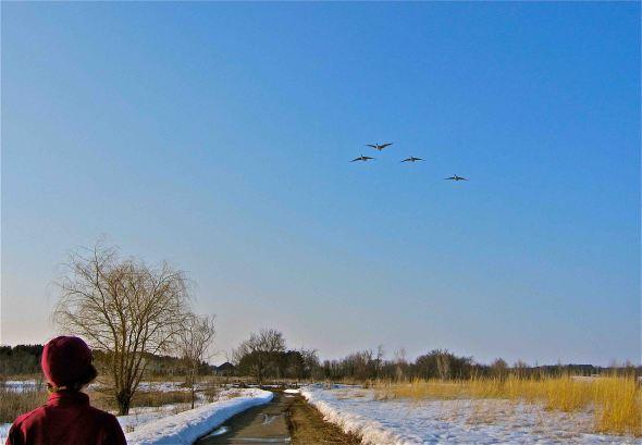 geese return