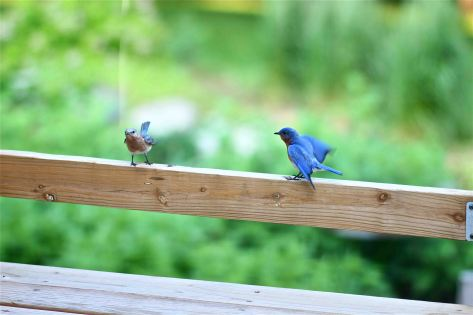 fledgling BBs