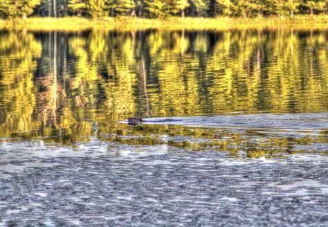old beaver