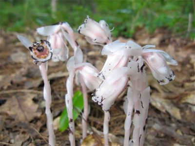 Ghost plant or Indian pipe