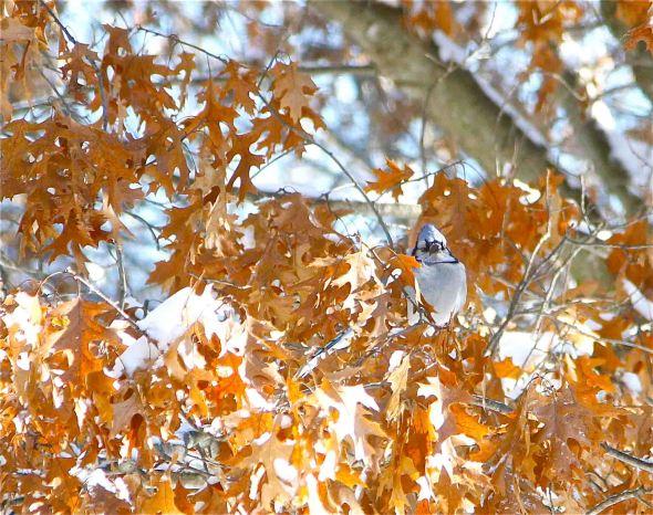 bluejay winter