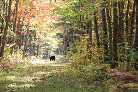 trial bear