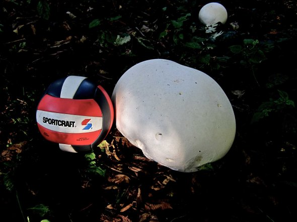 Super sized mushroom