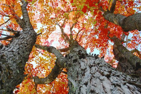 Shaggy sugar maple